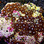 Orange Delight and Horizons Colony Polyp Rock Zoanthus Indonesia IM (click for more detail)