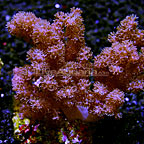 Cauliflower Colt Coral Indonesia  (click for more detail)