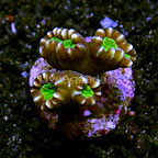 Trumpet Coral Fiji (click for more detail)