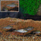 Zebra Barb (Group of 6) (click for more detail)