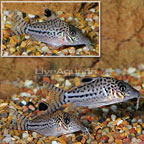 Leopard Corydoras (Group of 3) (click for more detail)