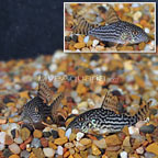 Sterba's Cory Catfish (Group of 3) (click for more detail)