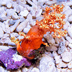 Silk Flower Tree Coral EXPERT ONLY (click for more detail)