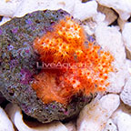 Carnation Tree Coral EXPERT ONLY (click for more detail)