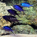 Caribbean Blue Reef Chromis (Group of 6) (click for more detail)