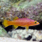 Yellowtail Reef Basslet  (click for more detail)