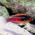 Yellow-Flanked Fairy Wrasse Terminal Phase Male (click for more detail)