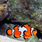 ORA® Captive-Bred Snowflake Clownfish (Retired Broodstock Single) (click for more detail)