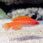 McCosker's Flasher Wrasse Initial Phase (click for more detail)