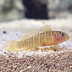 ORA® Captive-Bred Girdle Goby (click for more detail)
