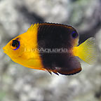 Coco's Joculator Angelfish  (click for more detail)