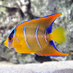 Queen Angelfish Changing (click for more detail)
