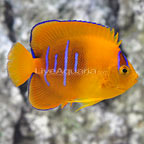 Bali Captive-Bred Clarion Angelfish (click for more detail)