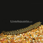 Ornate Bichir (click for more detail)
