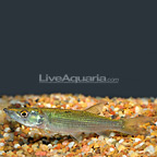 Tiger Odoe Pike Characin (click for more detail)