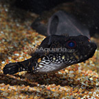 Humpback Puffer (click for more detail)