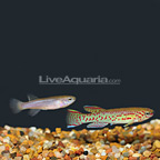 Lyretail Killifish (Pair) (click for more detail)