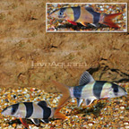 Clown Loach (Group of 3) (click for more detail)