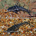 Pictus Catfish (Pair) (click for more detail)