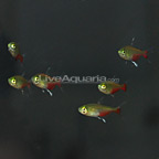 Green Fire Tetra (Group of 6) (click for more detail)