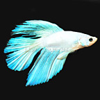Longfin White Opaque Betta (click for more detail)
