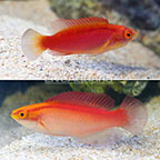 Flame Wrasse (Pair) (click for more detail)