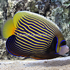 Maldives Emperor Angelfish Adult (click for more detail)