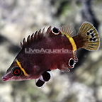 Yellow Banded Possum Wrasse (click for more detail)