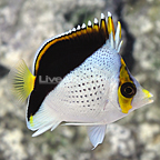 Small Tinkeri Butterflyfish (click for more detail)