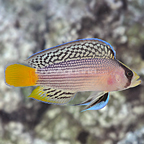 Splendid Dottyback (click for more detail)