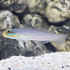 Fijian Sleeper Gold Head Goby (click for more detail)