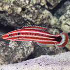 Peppermint Candy Cane Hogfish (click for more detail)