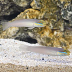 Fijian Sleeper Gold Head Goby (Bonded Pair) (click for more detail)
