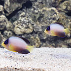 Multicolor Angelfish (Bonded Pair) (click for more detail)