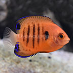 USA Captive-Bred Flame Angelfish (click for more detail)
