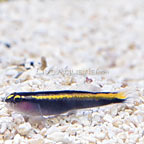ORA® Captive-Bred Yellowline Goby (click for more detail)