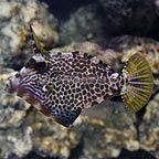 Honeycomb Filefish (click for more detail)