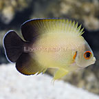Halfblack Angelfish (click for more detail)