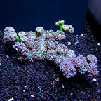 Aussie Duncan Coral (click for more detail)