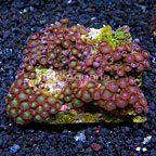 Green Crossettes and Raspberry Creme Colony Polyp Rock Zoanthus Indonesia IM (click for more detail)