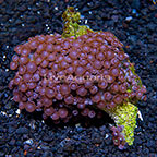Raspberry Creme Colony Polyp Rock Zoanthus Indonesia IM (click for more detail)