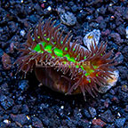 Aussie Walking Heteropsammia Coral (click for more detail)