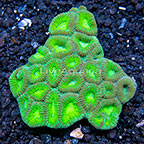 Aussie Dipsastraea Brain Coral (click for more detail)