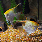 Gold Angelfish (Pair) (click for more detail)