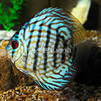 Checkerboard Blue Discus (click for more detail)