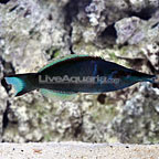 Bird Green Wrasse Terminal Phase Male (click for more detail)