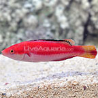 Solomon Condei's Fairy Wrasse Terminal Phase Male (click for more detail)
