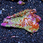 Creamsicle Colony Polyp Rock Zoanthus Indonesia IM (click for more detail)