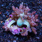 Pineapple Tree Coral Indonesia (click for more detail)