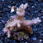 Sinularia Finger Leather Coral Indonesia (click for more detail)